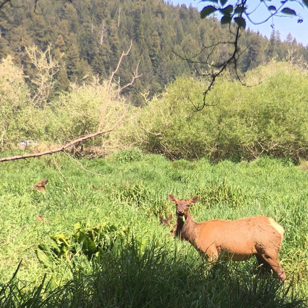 Elk in Trillium Falls Hike